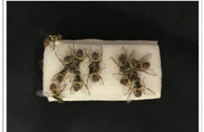 Insect bait rubber foam mixture to control fruit flies